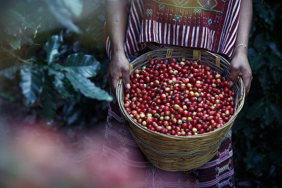 zbieranie kawy